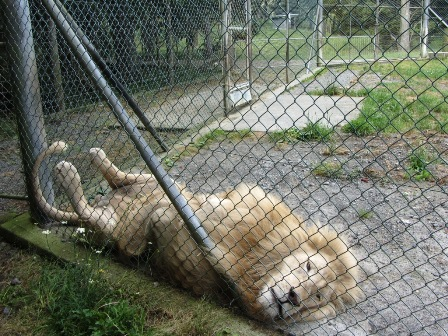 Lazy day at the office: Whangarei Lion Park