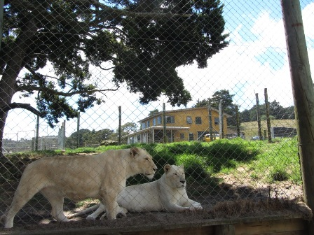White Lions - guess who lives here? (Whangarei Lion Park)